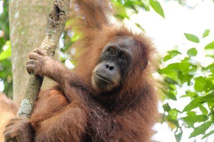 Bukit-Lavang (SE Sumatra)